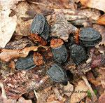 Silphes à corselet rouge (Oeceoptoma thoracicum L.) observés en forêt de Fontainebleau