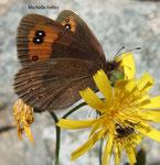 Moiré sylvicole (Erebia aethiops)  observé en Valais suisse