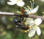 Mouche bleue (Calliphora vomitoria)