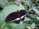 Papilio polytes mâle (Philippines)  Naturospace Honfleur