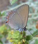 Thécla de l'yeuse (Satyrium ilicis) Camargue