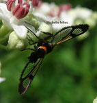 Saisie du pommier (Conopia myopaeformis)