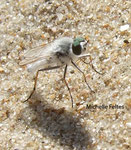 Therevide (Thereva annulata) Fort Mahon