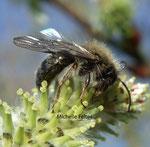 Andrène vagabonde (Andrena vaga)