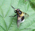 Volucelle bourdon (Volucella bombylans)