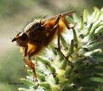 Scatophage du fumier (Scatophaga stercoraria L.)