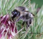 Bourdon des forêts (Bombus sylvarum)