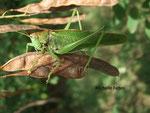 Sauterelle verte (Tettigonia viridissima)