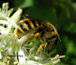 Collète commune (Colletes daviesanus Smith)