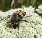 Trichie commune (Trichius fasciatus)