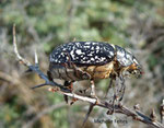Hanneton foulon (Polyphylla fullo) Fort Mahon