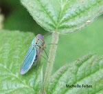 Cicadelle verte (Jassidella viridis L.)