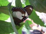 Graphium angolanus (Kenya)   Naturospace Honfleur