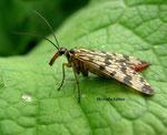 Mouche scorpion femelle (Panorpa communis)