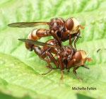 Sicus ferrugineux (Sicus ferrugineus)