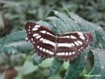 Athyma perius (Malaisie)   Naturospace Honfleur