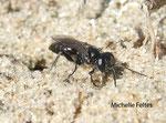 Liris-niger (Crabroninae) dont on voit le terrier (Fort Mahon)