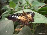 Parthenos sylvia (Philippines)  Naturospace Honfleur