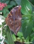 Doleschalia bisaltide (Philippines)   Naturospace Honfleur