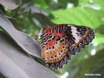 Cethosia boblis (Philipipines)   Naturospace Honfleur