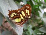 Siproeta steneles ou Malachite (Guyane)  Naturospace Honfleur