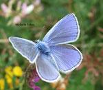 Argus bleu céleste (Polyommatus bellargus)