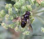Pipiza noctiluca (larve prédatrice de pucerons radicicoles)