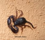 Scorpion (Euscorpius carpathicus) Hérault septembre 2008