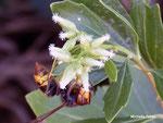 frelon asiatique (domaine de Certes-Graveyron)