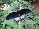 Papilio lowi mâle (Philippines)  Naturospace Honfleur