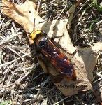 Scolia hirta  (parasite de larves de Cétoine) pyrénée orientale
