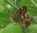 Tircis (pararge aegeria L.)