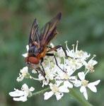 Alophore hémiptère (Phasia hemiptera)