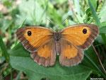 Amaryllis femelle (Pyronia tithonus L.)