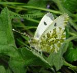 Aurore femelle (Anthocharis cardamines L.)