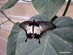 Papilio lowi femelle (Philippines)  Naturospace Honfleur