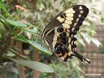 Voilier géant Papilio thoas (Guyane)   Naturospace Honfleur