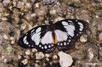 Euxanthe wakefieldi (Kenya)   Naturospace Honfleur