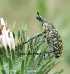 Charançon (Hylobius piceus)