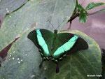 Papilio palinurus (Philippines)  Naturospace Honfleur