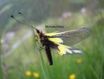 Ascalaphe (Ascalaphidae) Valais suisse
