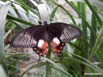 Papilio polytes femelle (Philippines)  Naturospace Honfleur