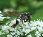 Abeille Andrena cineraria L.
