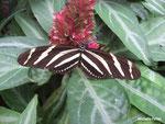 Heliconius charithonia (Costa Rica)  Naturospace Honfleur
