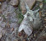 Bombyx de l'aubépine (Trichiura crataegi)