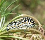 Chenille du Machaon ou Grand Porte-Queue (Papilio machaon L.)