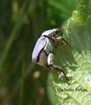 Hoplie (Hoplia caerulea) région de Souston