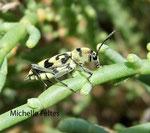 Longicorne Chlorophorus varius) Camargue juillet 2008