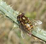 Syrphes du groseillier (Syrphus ribesii)