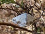 phalène ornée (Scopulata ornata)